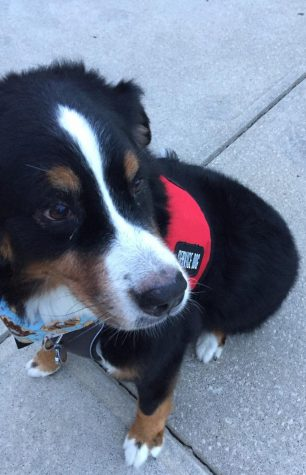 Tootsie, a Bernese Mountain Dog, who has been credentialed since January of 2018. She is 8 years old and still loves her job.